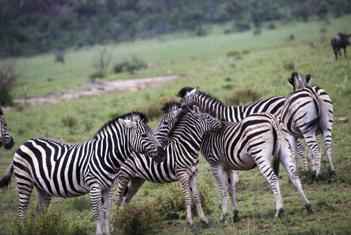 Milhares de zebras pontuam a paisagem da savana