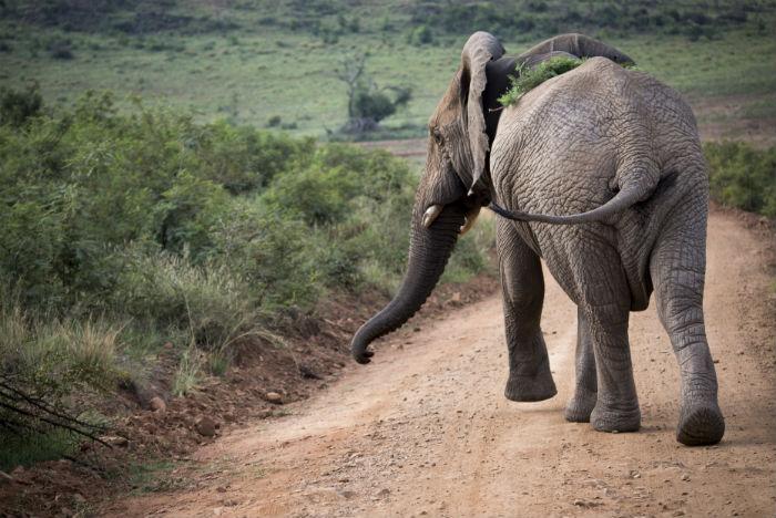 Elefantes jogam plantas e areias nas costas para se refrescar