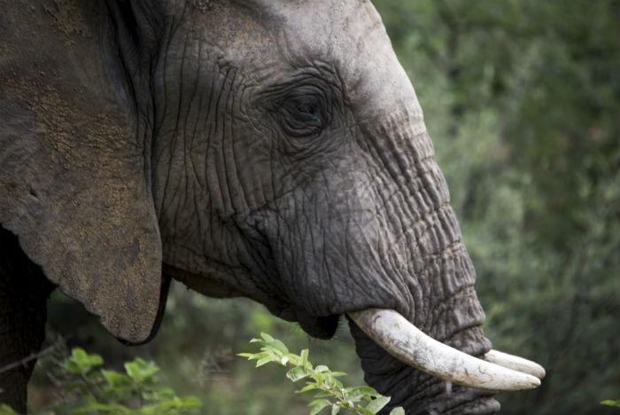 Dentes de marfim nas fêmeas pesam até 70 kg cada um