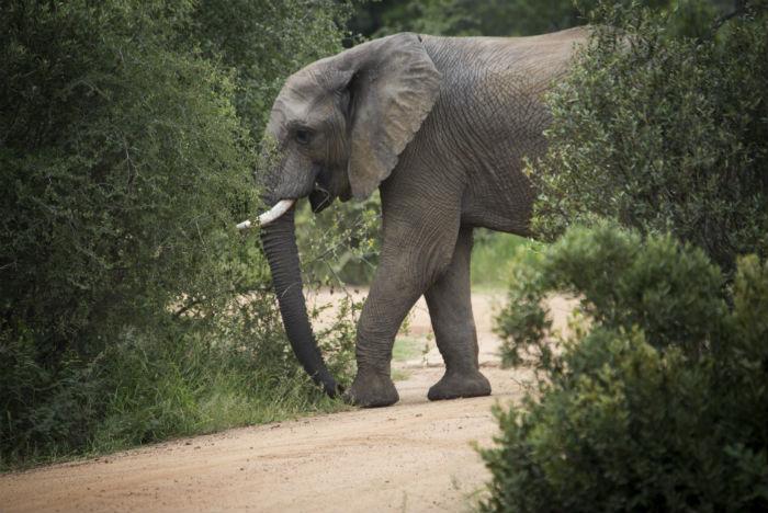 Elefante-da-savana atinge 3,3 metros de altura e chega a pesar 5,5 toneladas