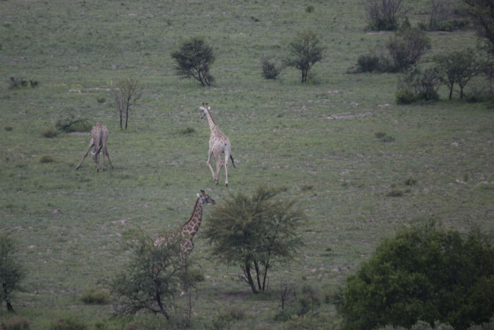 Ao longe, girafas desfilam garbosas no seu habitat