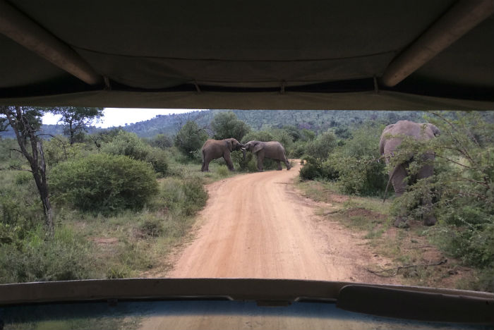Elefantes se multiplicam em frente ao jipe, fazendo a alegria dos turistas