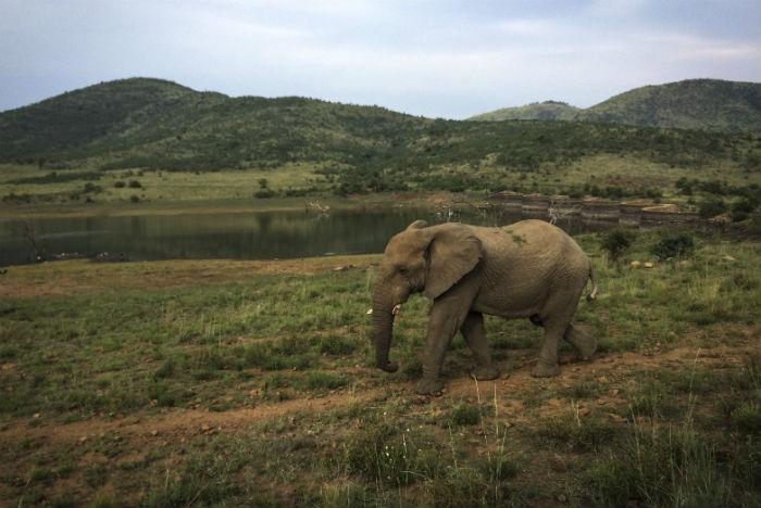 Elefante passeia pela bela paisagem de Pilanesberg